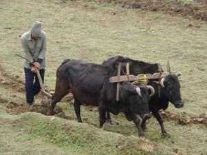 Strength of an Ox