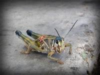 lordsburg-locust-02.jpg